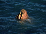 Male Walrus Swimming in Alaskan Waters
