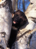 Buy Wolverine in Tree, Gulo Luscus, AK at AllPosters.com