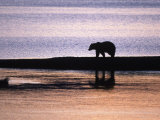 Grizzly Bear, Dawn, Ursus Arctos Middendorffi, AK