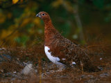 Ptarmigan, Alaska State Bird, Denali National Park in Autumn