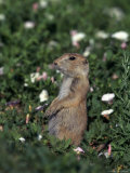 Black-Tailed Prairie Dog, Cynomys Ludovicianus, CO