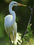 Great Egret, Florida, USA