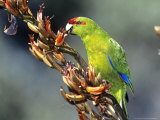 Red-Crowned Parakeet, Cyanoramphus Novaezelandiae Feeding on New Zealand Flax, New Zealand