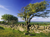 Windswept Tree and Dry Stone Wall, Dartmoor, UK
