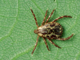 American Dog Tick, Rocky Mountain Spotted Fever Vector