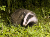 Badger, Foraging, Vaud, Switzerland