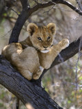 African Lion, Young Cub in Tree, Southern Africa