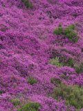 Bell Heather in Flower on Moorland, July, UK