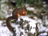 Red Squirrel, Sat on Stump in Snow Feeding, UK