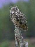 Eagle Owl, Adult on Stump, Scotland