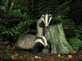 Badger, Cubs on and Around Tree Stump, UK