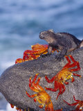 Marine Iguana &amp; Sally Lightfoot Crabs, Mosquera Island, Galapagos
