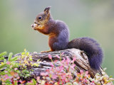 Red Squirrel, Adult on Fallen Log Eating a Hazelnut, Norway