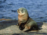 New Zealand Fur Seal, Arctocephalus Forsteri South Australia