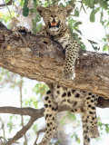 Leopard, Resting in Tree During Heat of the Day, Botswana Photographic Print