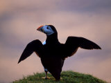 Puffin, Wings Spread