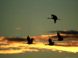 Sandhill Cranes at Dusk, New Mexico