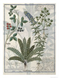 Ferns, Brambles and Flowers, Illustration from the Book of Simple Medicines by Platearius
