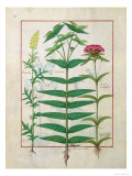 Reseda, Euphorbia and Dianthus, Illustration from the 'Book of Simple Medicines' Platearius