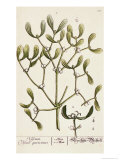 Mistletoe from A Curious Herbal, 1782