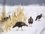 A Flock of Wild Turkey Pick Over a Corn Field in Williston, Vermont, Wednesday, March 5, 2003