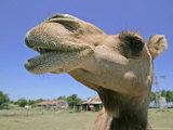 A Camel from Doug Baum's Herd is Shown in Valley Mills, Texas, Thursday, July 13, 2006