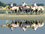 A Caravan of Racing Camels Return from a Morning Training Session