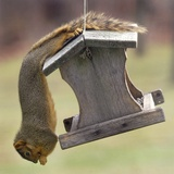An Acrobatic Squirrel Enjoys the Contents of a Feeder While Hanging Upside-Down