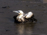 An Oil-Covered Bird