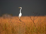 A Great Egret Sits on Top of a Dead Tree