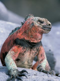 Marine Iguanas During Mating Season, Espanola Island, Galapagos Islands, Ecuador Photographic Print