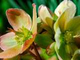 Hellebores, Reading, Massachusetts