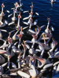 Australian Pelicans on Hastings River Port Macquarie, New South Wales, Australia