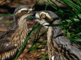 Bush Thick-Knee (Burhinus Grallarius), Kakadu National Park, Australia