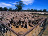 Sheep Ready to Be Sold, Central Victoria, Victoria, Australia