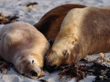 Three Sleeping Sea Lions (Neophoca Cinere)On South Coast Beach, Kangaroo Island, Australia