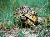 Tortoise Crawling Through Grass, Okavango Delta, Botswana