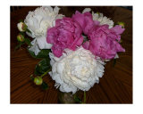 Bouquet Of Fresh Pink & White Peonies