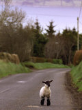 A Spring Lamb Walks in the Scenic Glens of Antrim in Cushendall, Northern Ireland
