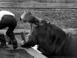 Hilda the Humorous Hippo Joking with Zoo Keeper in Phoenix Park Zoo, Dublin, June 1969