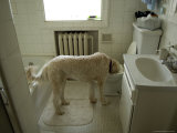 Dog Drinks Out of a Toilet