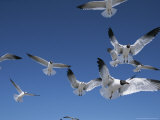 Laughing Gulls in Flight Photographic Print