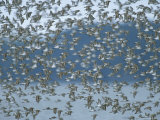 Flock of Western Sandpipers in Flight Photographic Print