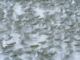 Flock of Western Sandpipers Scurry Across the Copper River Flats Photographic Print