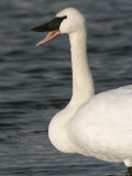 Close View of a Trumpeter Swan Photographic Print