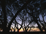 Bay and Oak Trees Silhouetted at Sunrise Photographic Print
