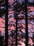 Silhouetted Ponderosa Pines at Sunset