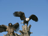 Adult and Immature Bald Eagles Perched Together on Driftwood Photographic Print