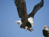 Bald Eagle Lands with Fish While Another Watches Photographic Print