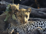 Female Leopard, Panthera Pardus, Lets a Cub Chew on Her Ear